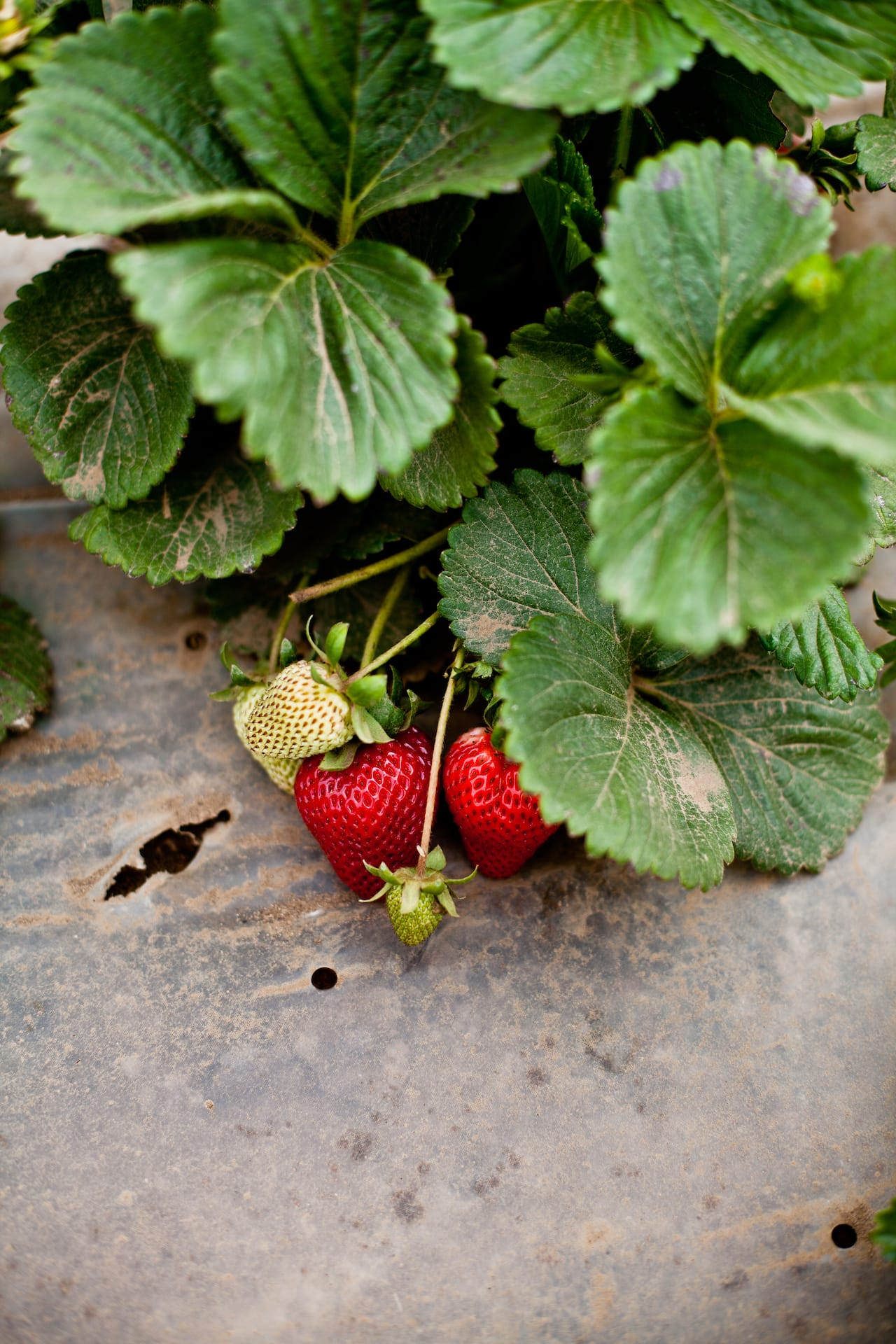 California Strawberry Farm Tour   Playful Cooking