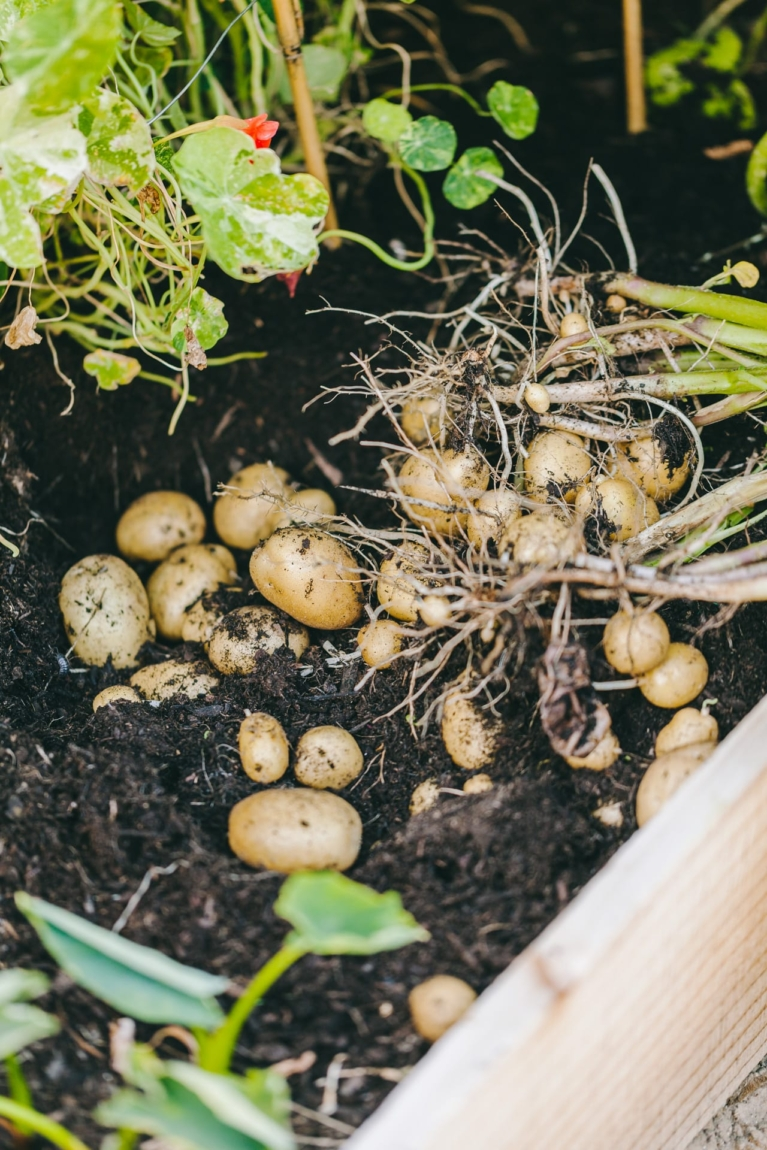 Gardening | Playful Cooking #poatoes #smashed #baked #foodphotography #foodstyling