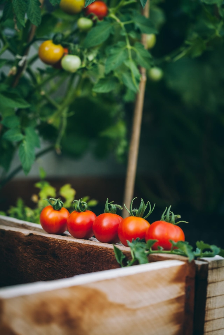 Fresh garden tomatoes arranges in one line on top of a garden bed with a tomato plant at the back